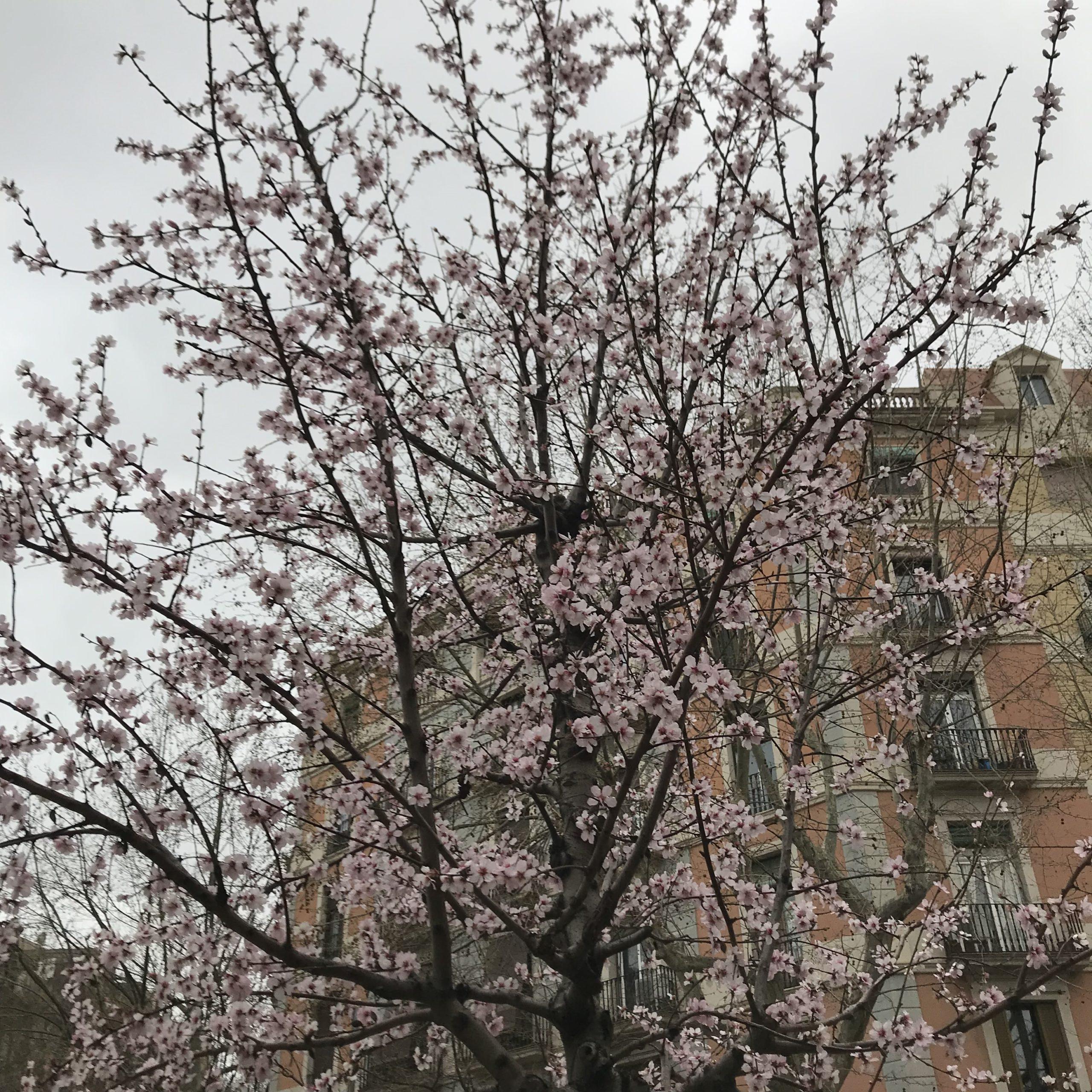 Bloesemboom Barcelona - Meditatie-artikel MODESK.nl